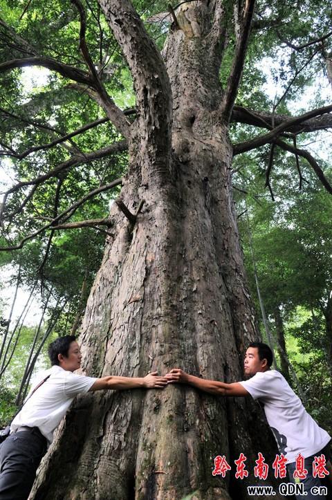 榉木树图片
