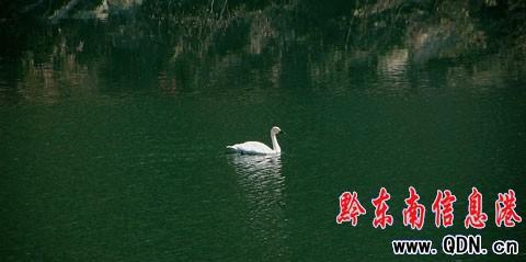 小天鹅从长江以北而来迁徙过冬途中受伤落单(图)