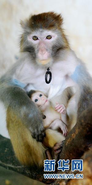 豚尾猴与猕猴杂交猴崽在九江动物园诞生(组图)