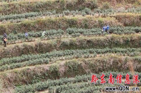 黎平茶产业促进12万农民增收(图)