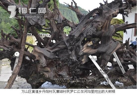 金丝楠木乌木树根