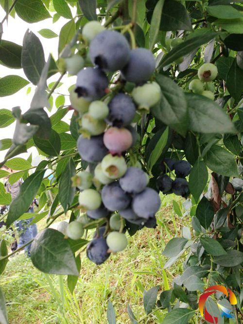 蓝莓几月成熟_2018年蓝莓市场价多少钱一斤