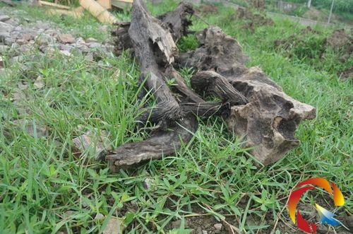 黔东南 施秉县 施秉/在施秉县城区发现的阴沉木