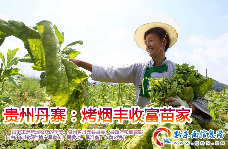 贵州丹寨:烤烟丰收富苗家