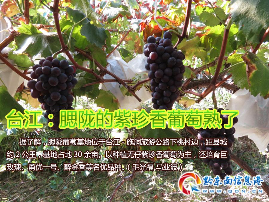 台江:腮陇的紫珍香葡萄熟了