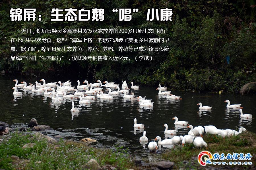 """锦屏:生态白鹅""""唱""""小康"""
