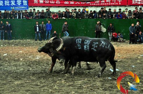 2018贵州国庆斗牛海报