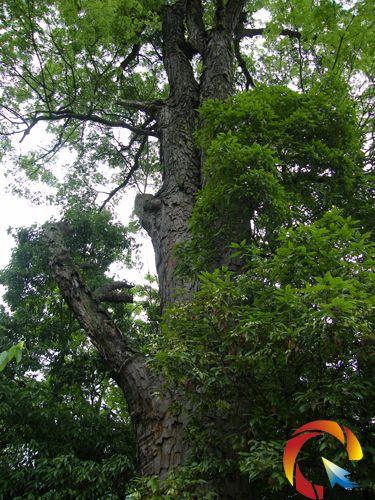又叫金丝楠木,因它的树皮呈倒鳞甲状