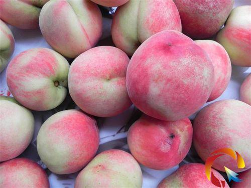 镇远召开桃子新品种品