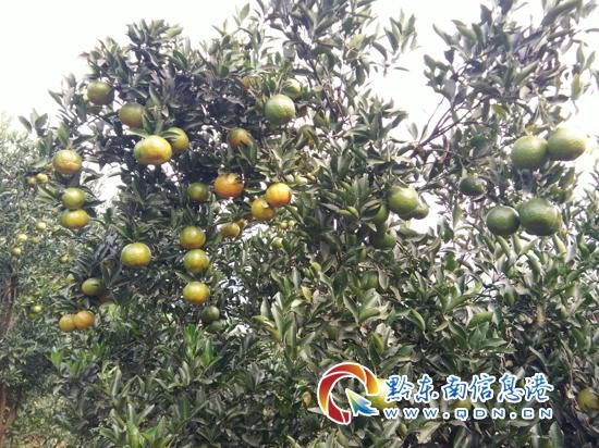 从江翠里:椪柑硕果累累,丰收在望(图) - 黔东南县