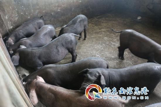 动物 猪 550_367