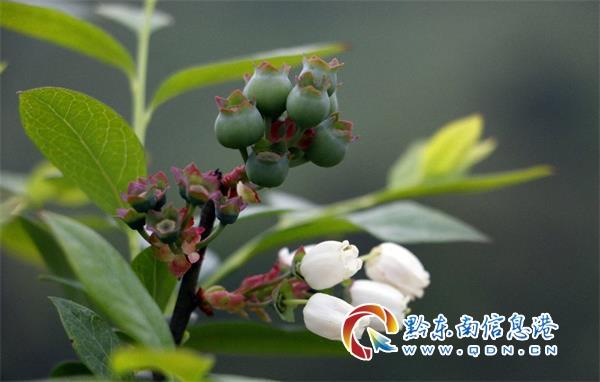 麻江蓝梦谷:蓝莓花开香满园