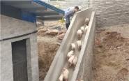生豬養殖成村民致富