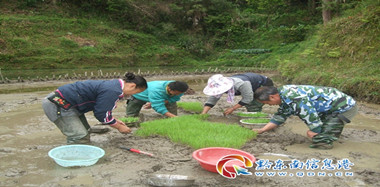 "稻(dao)種""兩段(duan)""育(yu)秧忙"